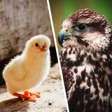 Курица и ястреб